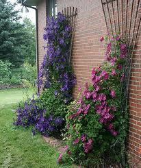 clematis ernest markham clematis climbers windy ridge. Black Bedroom Furniture Sets. Home Design Ideas