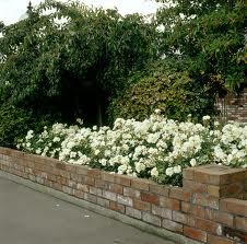 Flower carpet white carpet roses roses windy ridge flower carpet white mightylinksfo